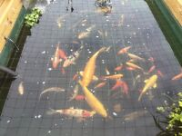 Free pond fish
