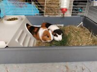2 female Guinea pigs with all you need