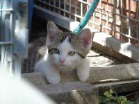 3 ¾ ragdoll 1/8 Persian mix kittens.