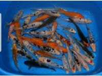 Koi carp pond fish size 3-4inch pond tank