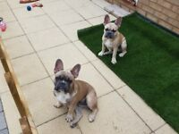 For Sale French Bulldog Pups 6 Months Old in need of Loving Home