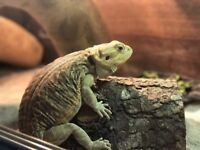 WOW bearded dragon reptile with all extras tank with cupboard