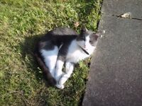 Missing grey and white male cat