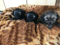 **BORDERPOO PUPPIES FOR SALE**
