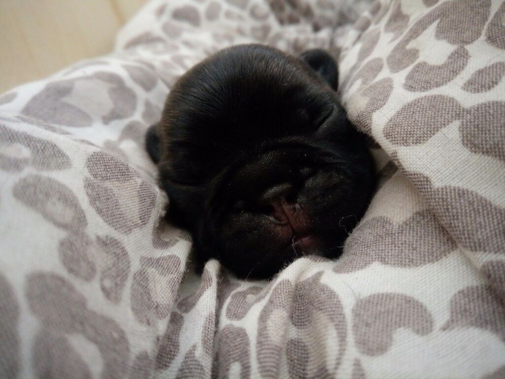 3 brindle girl french bulldog puppies KC registered