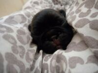3 brindle girl french bulldog puppies for sale