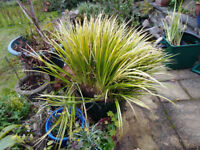 Carex pond grass - Free !!