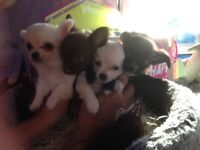 Stunning Long Coat Chihuahua puppies super friendly well socialised