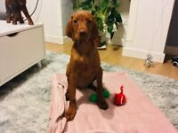 Hungarian vizsla boy sale