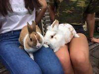 Two rabbits - (1 lionhead & 1 dutch), plus hutch, run and accessories