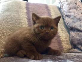 Rare chocolate British short female kitten