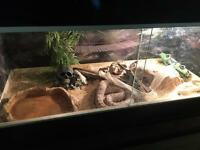 Corn snake with vivarium
