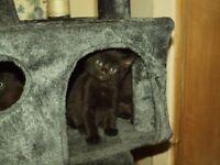 5 Siberian kittens for sale (very fluffy)
