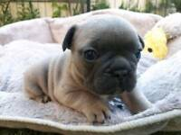 KC Registered Blue and Fawn French Bulldog puppies