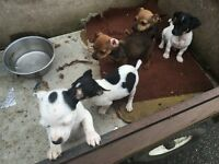 5 boys jack rusell x pug chihuahua