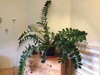 Vary Large ZZ Plant, Zamioculcas Zamiifolia