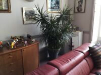 House plant - very large - free to a good home