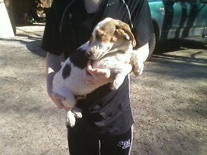 1 Beagle male left (Price Drop to $300)
