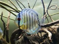 Wild Green Discus Fish. 4-5 inches Approx. Stunning fish