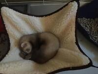 8 weeks old female ferret is on sale everything included