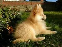 URGENT. pomeranian puppy