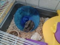 Two russian dwarf hamsters for sale
