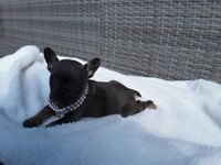 Kc frenchbull dog bitch puppies