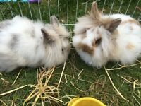 Lion head rabbits for sale with full set up including large hutch