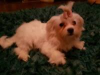 Beautiful tiby maltese pup girl kc reg