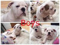Beautiful full English bulldogs puppies last boys