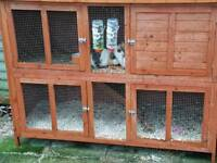 Female Guinea pigs with hutch.