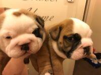 3 female British bulldog puppies