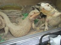 bearded dragons - two females 3-4 years old tame includes full vivarium set up