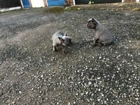 Two Blue Male French Bulldog