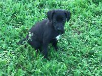 Whippet cross bedlington terrier