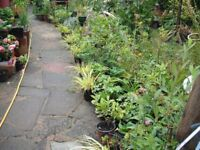 Large Variety Of Garden Plants In Large Pots (all come up every year)