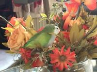 2 Parrotlets white and green