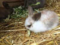 Baby lop ear rabbits for sale