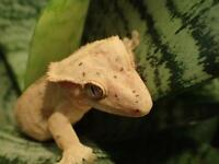 female crested geckos