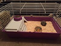 2 MALE guinea pigs and cage/ accessories INCLUDED