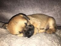 Gorgeous tiny Border terrier X chihuahua puppies one boy left