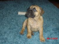 BRITISH BULLDOG X BULLMASTIFF PUP