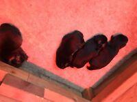 Border terrier pups