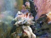Marine fish - Falcon hawkfish