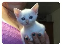 4 beautiful white kittens (part RAGDOLL )