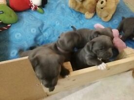 K.C.registered blue staffy pups. Show quality,
