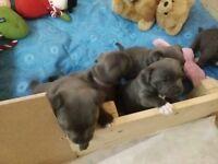K.C.registered blue staffy pups. Show quality,
