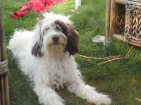 beautiful cocapoo/cocedoodle for sale 5mt old