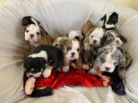 English bulldog puppies DWKC Registered