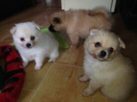 4 lovely registered pomerianan puppies for sale